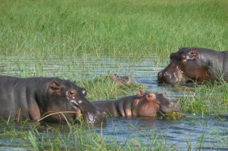 Nielpferde am Chobe Fluss