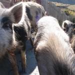 Uschguli, Schwein