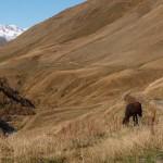 Swanetien, Wildpferde